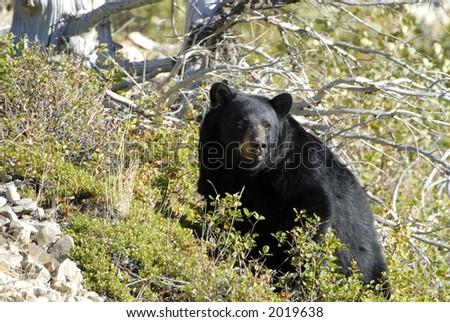 Black bear at Glacier National Park. - stock photo