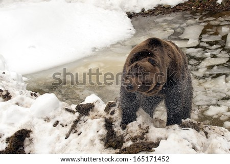 Black bear brown grizzly while stretching in the ice water - stock photo