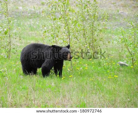 Black bear by Medicin lake. Jasper National park. Canada.