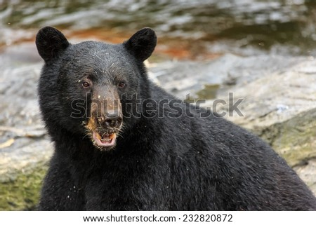 Black bear close up, head shot. Ketchikan, Alaska. - stock photo