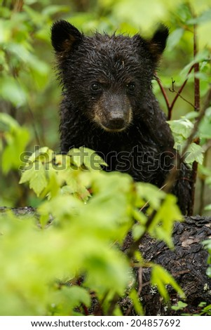 Black bear cub between green leafs - stock photo
