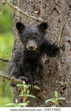 Black bear cub climbed in a tree - stock photo