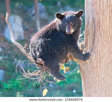 Black Bear Cub Sitting in a Tree and Looking at the Camera - stock photo