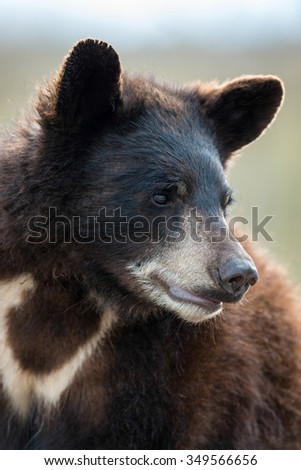 Black bear cub (Ursus americanus) looking to the side - stock photo