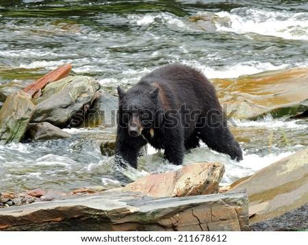 black bear fishing for salmon in neets bay, near Ketchikan,  Alaska  - stock photo