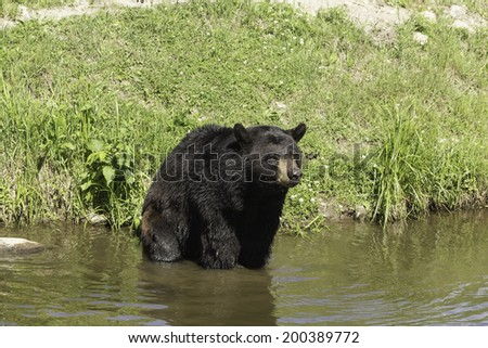 Black bear in a lake - stock photo