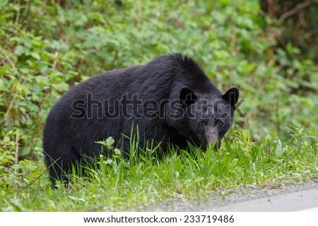 Black bear in Canada - stock photo