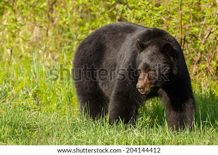 Black bear in evening light - stock photo