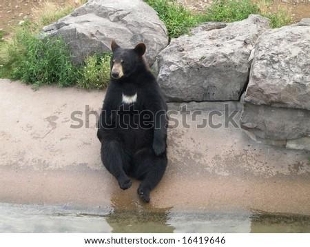 Black bear in park - stock photo