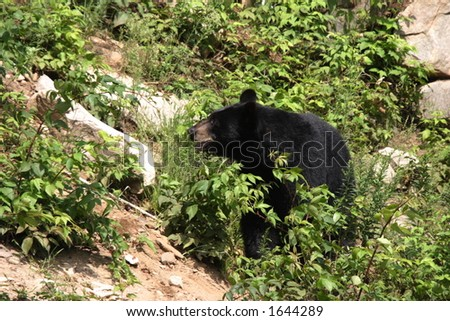 black bear in the woods - stock photo