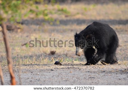 Black bear Nature