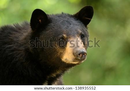 Black Bear Profile - stock photo