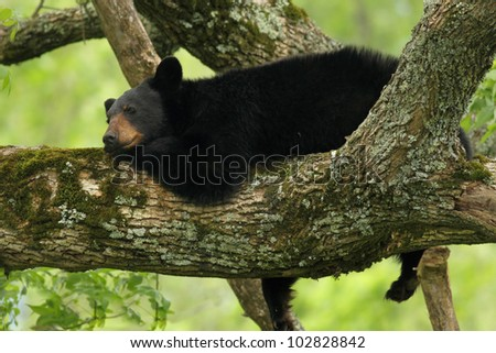 Black Bear resting in a tree - stock photo