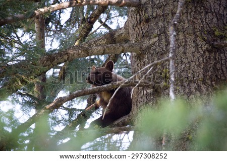 Black bear resting in a tree in Sequoia national park, California - stock photo