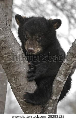 Black Bear (Ursus americanus) Cub in Tree - captive animal - stock photo