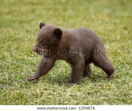 Black Bear (Ursus americanus) Cub on the Move - stock photo