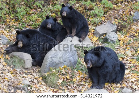Black bear (Ursus Americanus) family in autumn