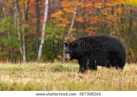Black Bear (Ursus americanus) Looking Left in Field - captive animal