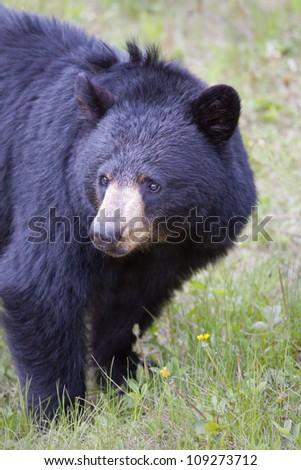 Black Bear vertical closeup. - stock photo