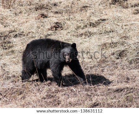 Black bear walking in Yellowstone park