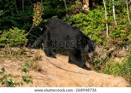 black bear while eating on grass background - stock photo