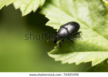 black bedbug with red spot on his head - stock photo
