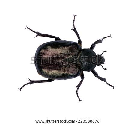 black beetle isolated on white  - stock photo