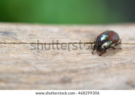 Black beetle on wood and green blur background.