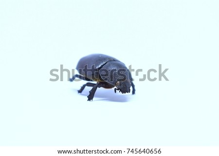 Black beetle (Rhino beetle) on white background