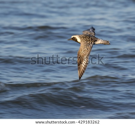 Black-bellied, or grey plover (Pluvialis squatarola) in breeding plumage flying over he ocean, Galveston, Texas, USA.