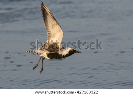 Black-bellied, or grey plover (Pluvialis squatarola) takin off at the ocean beach, Galveston, Texas, USA. - stock photo