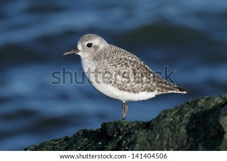 Black-bellied Plover (Pluvialis squatarola) by the Atlantic ocean