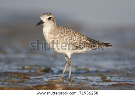Black-bellied Plover, Pluvialis squatorola, on dark gray to brown beach sand