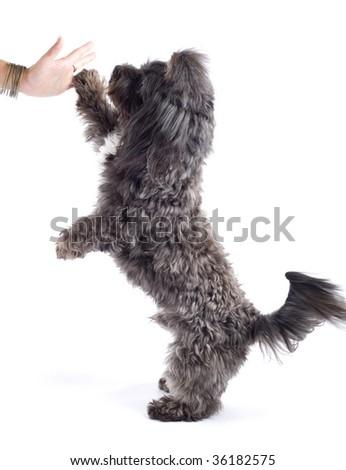 black bichon playing and making his hi five! - stock photo