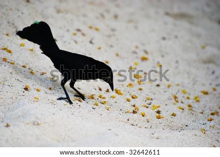 black bird picking food on the sand - stock photo