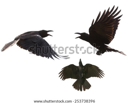 black birds crow flying mid air show detail in under wing feather isolated white background - stock photo