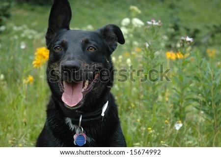 Black Border Collie dog - stock photo