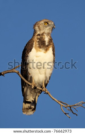 Black-breasted snake eagle (Circaetus gallicus) perched on a branch, Kalahari, South Africa - stock photo