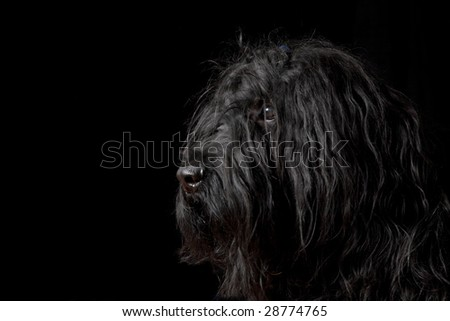 Black Briard portrait (dog)