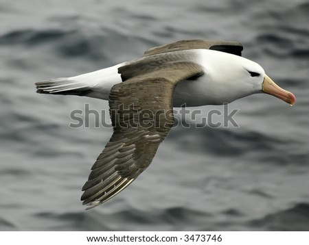 Black-browed albatross - stock photo