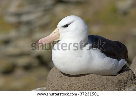 Black-browed albatross (Diomedea melanophris) on its nest on the Falkland Islands - stock photo