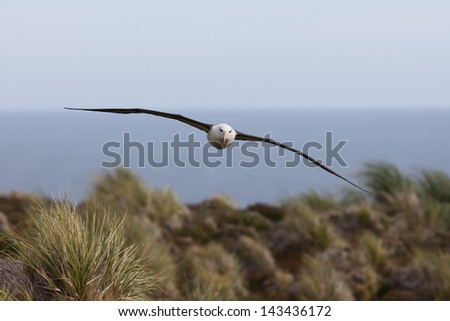 Black-browed Albatross (Thalassarche melanophris melanophris), Black-browed subspecies, adult in flight over Steeple Jason Island in the Falklands. - stock photo
