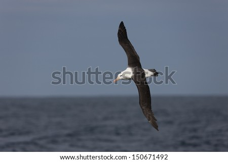 Black-browed Albatross (Thalassarche melanophris melanophris), Black-browed subspecies, adult in flight over the Scotia Sea. - stock photo