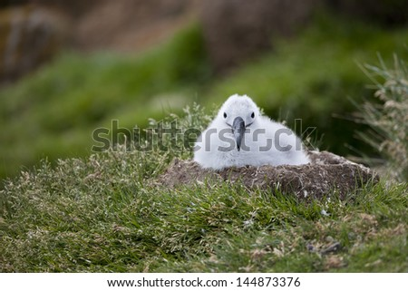 Black-browed Albatross (Thalassarche melanophris melanophris), Black-browed subspecies, downy chick in a nest at it's breeding colony on Saunders Island in the Falklands. - stock photo