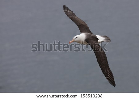Black-browed Albatross (Thalassarche melanophris melanophris), Black-browed subspecies, in flight near it's breeding colony on Saunders Island in the Falklands. - stock photo