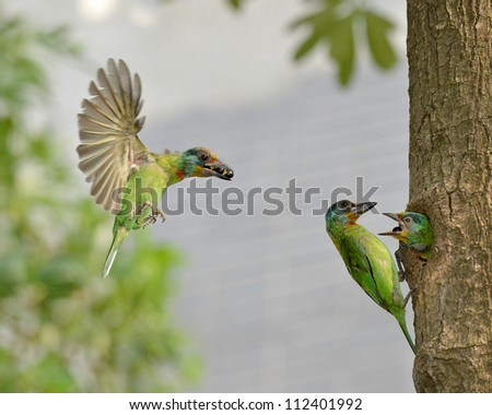 Black Browed Barbet Feeding Babies - stock photo
