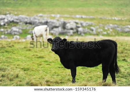 Black bull - stock photo