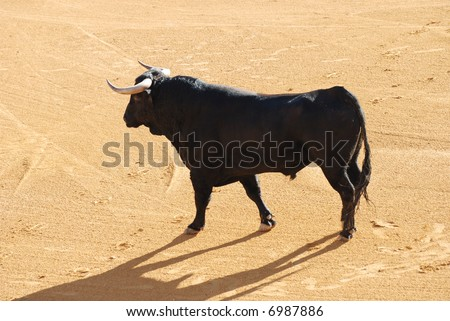 Black bull in the spanish bullfighting arena - stock photo