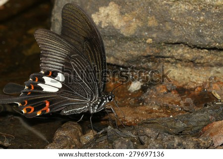black butterfly in nature waterfall thailand - stock photo