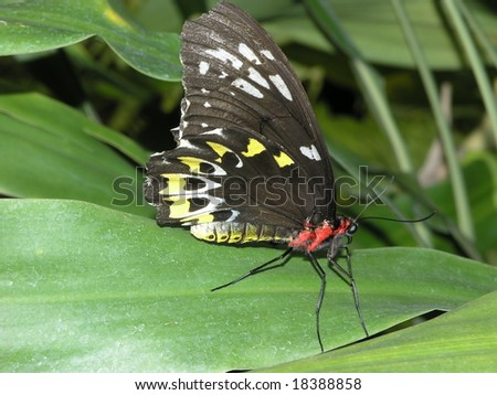 Black butterfly side view - stock photo